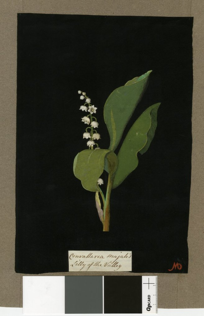 """Convallaria Majalis (Hexandria Monogynia), from an album (Vol.III, 23); Lilly of the Valley. 1776 Collage of coloured papers, with bodycolour and watercolour, on black ink background,"" British Museum, 1897,0505.224"