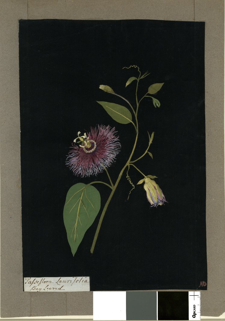 """""""Passiflora Laurifolia (Gynandria Pentandria), formerly in an album (Vol.VII, 54); Bay Leaved. 1777 Collage of coloured papers, with bodycolour and watercolour, on black ink background,"""" 1777, British Museum, 1897,0505.654"""