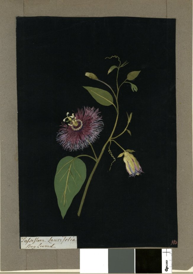 """Passiflora Laurifolia (Gynandria Pentandria), formerly in an album (Vol.VII, 54); Bay Leaved. 1777 Collage of coloured papers, with bodycolour and watercolour, on black ink background,"" 1777, British Museum, 1897,0505.654"